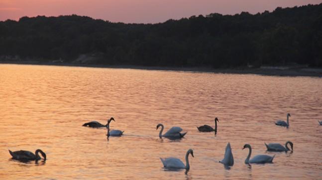 İğneada'da Kuğuların Dansı Büyülüyor