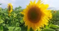 """""""Sarı gelin"""" çiçek açtı"""